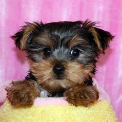 yorkie litter size new litter of tiny size yorkies available for sale adoption from charleston south