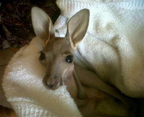 doodlebug orphaned baby kangaroo zoo lends a helping to orphaned kangaroo joey zooborns