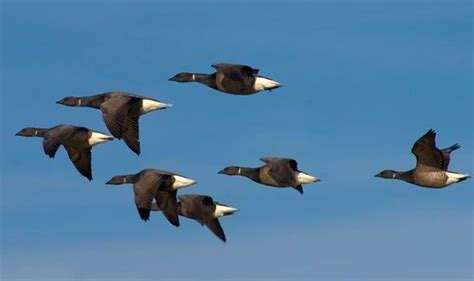 secret of why birds fly in a v formation revealed nature
