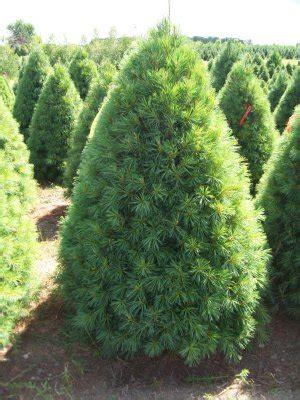 christmas trees types pictures tree varieties available tree types