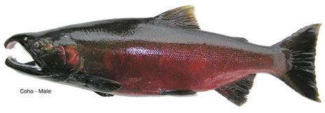 what is the difference beween salmon and sea trout coho silver salmon identification information