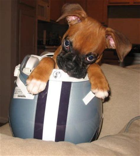 dogs 101 boxer dogs 101 boxer image search results