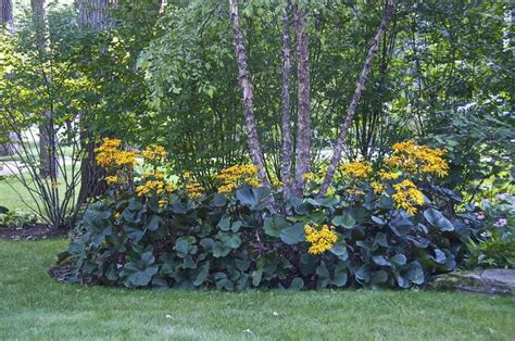 55 best images about big leaf plants perennials zone 4 on pinterest gardens sun and chinese
