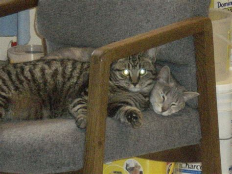 Universal Kitten universal radio store cats page 36