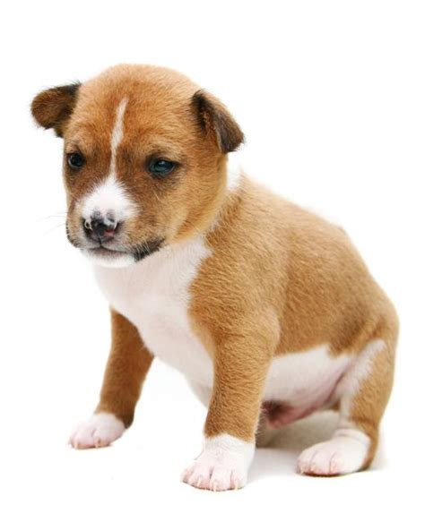 when is a puppy a basenji breed information noah s dogs