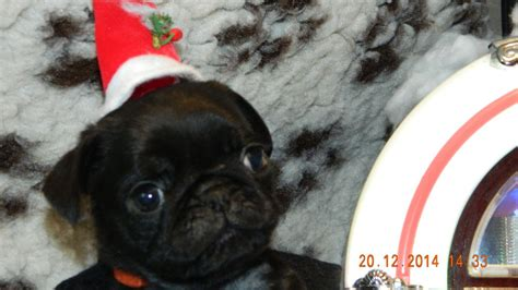 pug puppies for sale plymouth precious pug puppies kc registered plymouth pets4homes