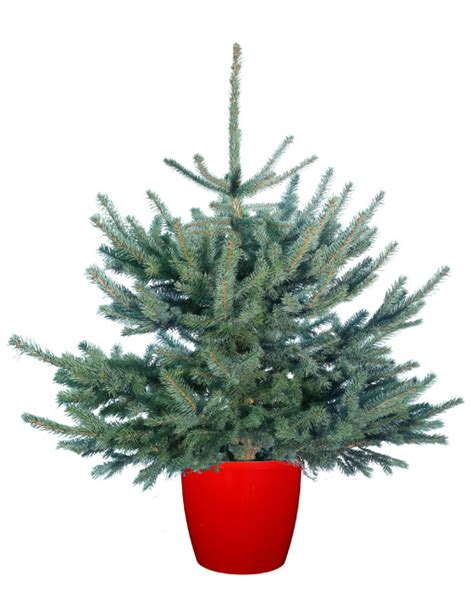 colorado blue spruce christmas trees delivered