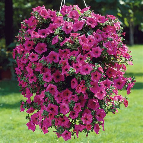 petunia surfinia hot pink plants from mr fothergill s