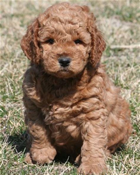 ginger doodle puppy miniature goldendoodle