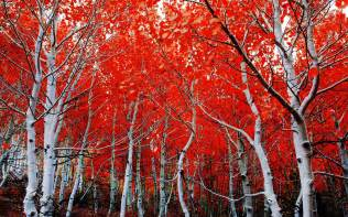 fall birch red leaves hd wallpaper 2560x1600 wallpapers13 com
