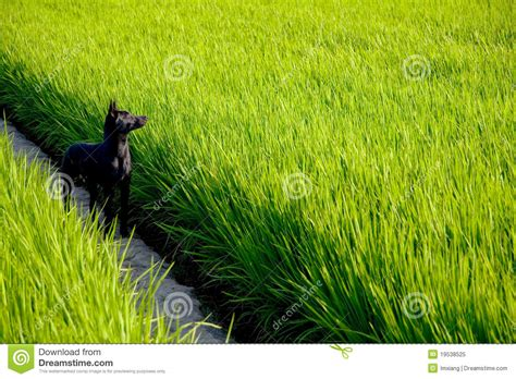 white rice for dogs a black on rice paddy royalty free stock photo image 19538525
