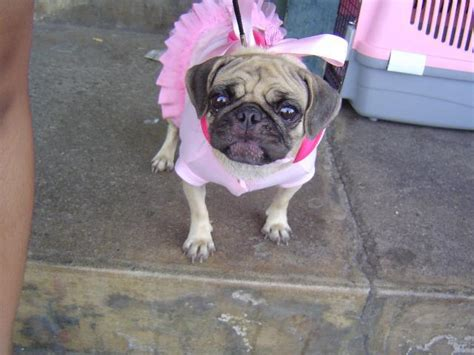 puppy pug names pug dogs names images