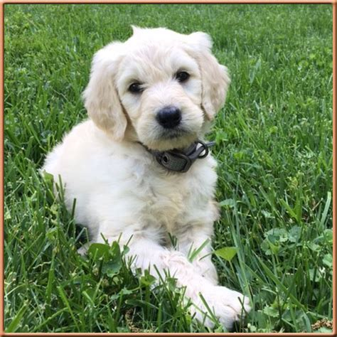 Mini Goldendoodle White 56981 Zsource