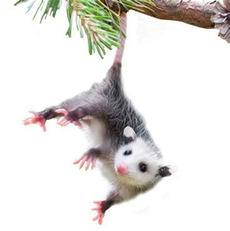 How To Keep House by How To Get Rid Of Opossums Opossum Removal Havahart Us
