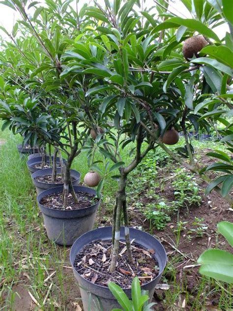 Bibit Buah Sawo Jumbo jual bibit pohon sawo jumbo 70 cm jual bibit tanaman dan