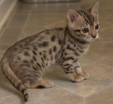Kuas Cat 3in spots walk n bengals