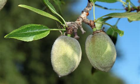 almond fruit tree almonds pollination and harvesting bee informed partnership