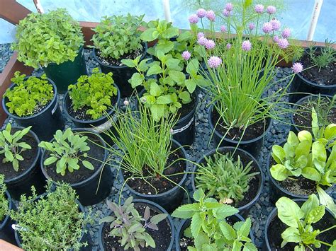 growing herbs outdoor garden check my garden