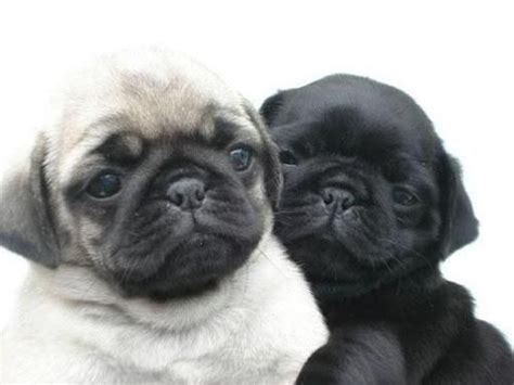 i need a pug 25 best ideas about pug puppies on pug puppies pugs and baby dogs