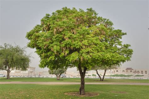 in tree photo 1587 20 albizia lebbeck tree with fruits in aspire