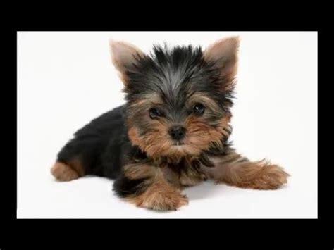 kickstart commercial puppy monkey baby all pro dances like puppymonkeybaby funnydog tv