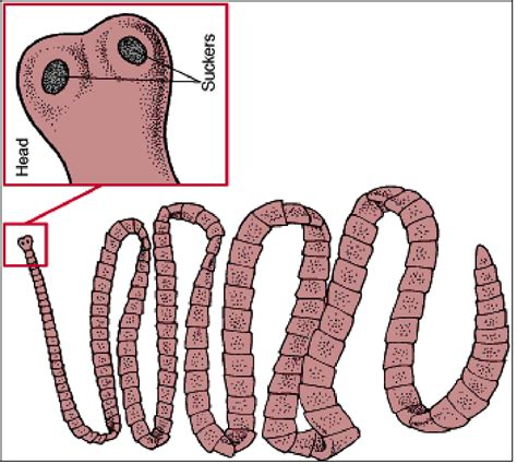 tapeworm diagram www pixshark images galleries