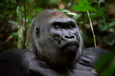 82bggq31zq congo silverback gorilla