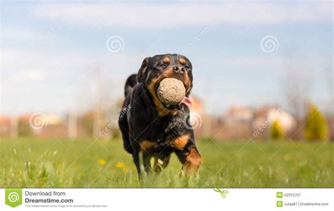 rottweiler running rottweiler running stock photo image 52315707