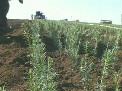 silver mountain christmas trees growing seedlings youtube