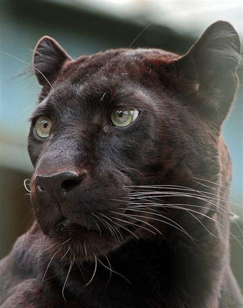 Melanistic Jaguar Best 25 Black Jaguar Ideas On Black Jaguar