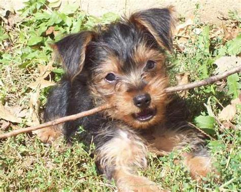 min pin yorkie mix yorkie pin terrier miniature pinscher hybrid dogs yorkie breeds picture