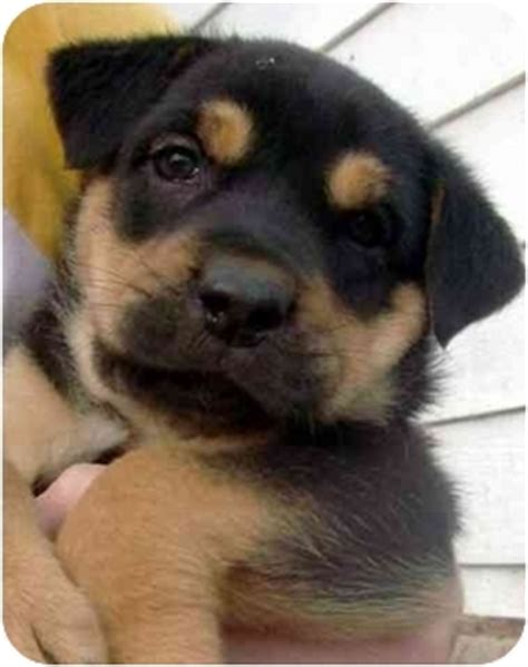 rottweiler shar pei puppies adopted puppy kansas city mo rottweiler shar pei mix