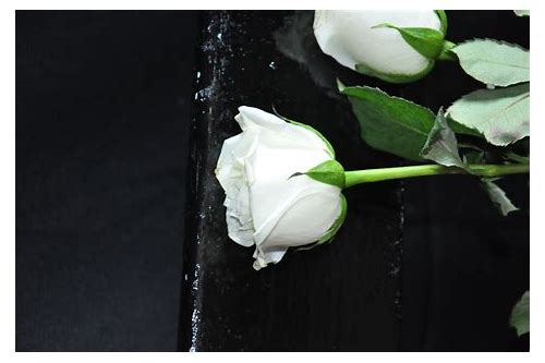 white rose images free download