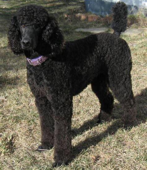 black standard poodle puppies black standard poodle standard poodles