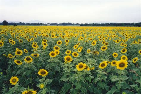 sunflower field file sunflower fields lopburi thailand jpg wikipedia