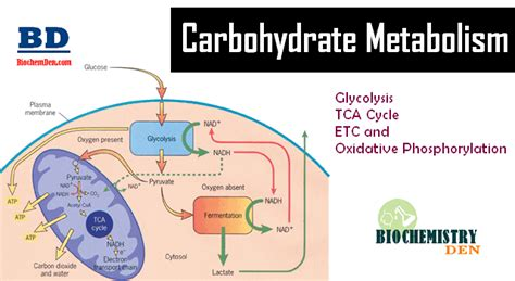 carbohydrates purpose basic overview of carbohydrate metabolism
