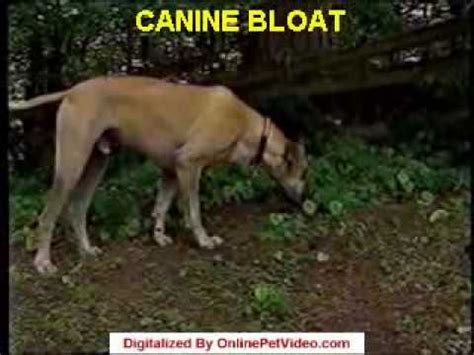 signs of bloat in dogs how to recognize bloat doovi