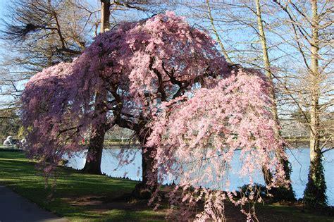cherry tree zone 9b prunus subhirtella pendula rubra landscape architect s pages