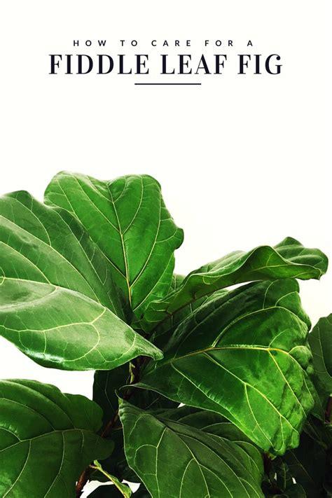 fiddle leaf fig fiddle fig tree home depot fiddle leaf fig etsy fiddle