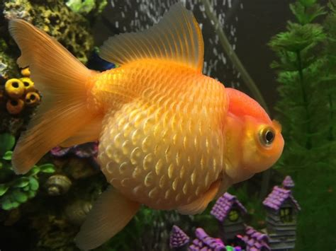 dropsy or pearlscale goldfish my aquarium club
