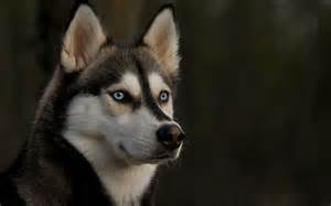 siberian husky colors husky rescue sa coat colors of the siberian husky