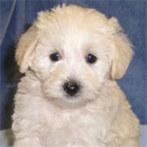 schnoodle puppies for sale in nc miniature schnoodle puppies for sale in raleigh nc schnoodles