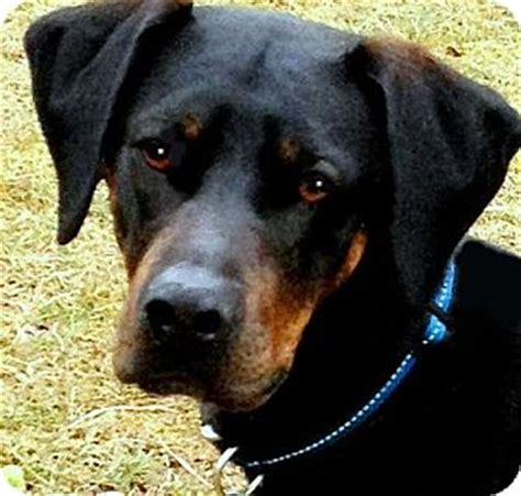 doberman golden retriever mix image search beagle mixed with golden retriever breeds picture