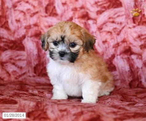 shichon puppies for sale shichon puppy for sale shichon puppies for sale puppys and shichon