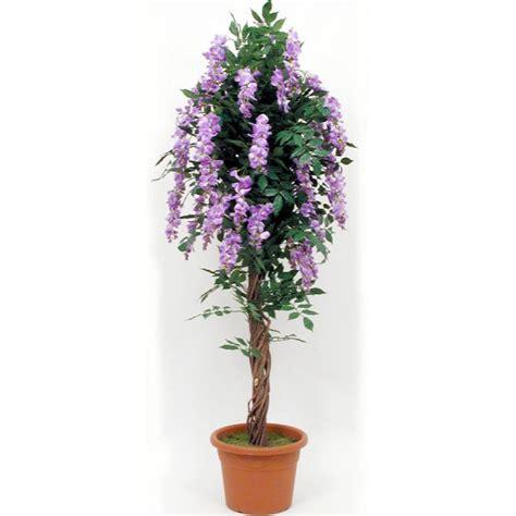 glicine in vaso prezzo glicine liana altezza cm 200 216 vaso cm 26 3f piante