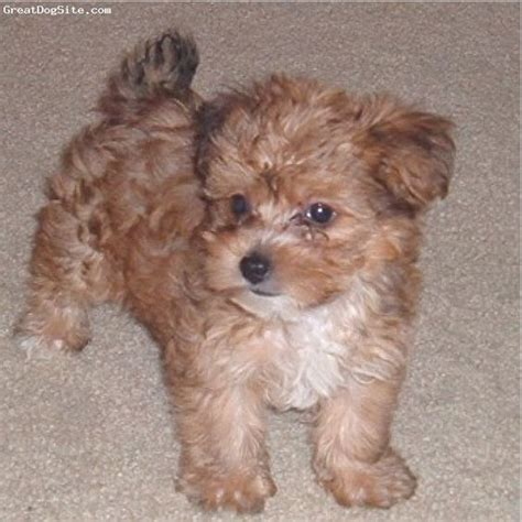 8 week yorkie poo the world s catalog of ideas
