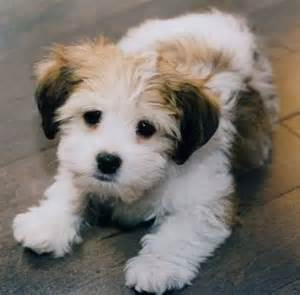 are morkies healthy dogs http bit ly 1gs3rm8 http