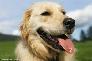 arthritis in golden retrievers canine disease may be due to domestication and not inbreeding daily mail