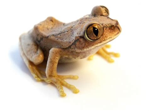 frog gig for sale big eye tree frog for sale reptiles for sale