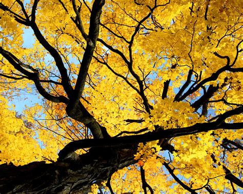 Bigyellow Lookup Big Yellow Tree By Candzz On Deviantart